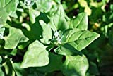 Spinach Seed, New Zealand, Heirloom, Organic, Non Gmo, 100 Seeds, Tasty Spinach