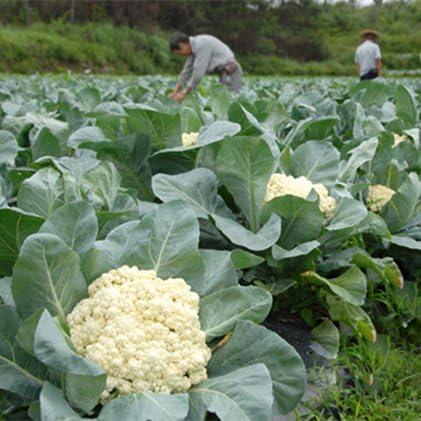 Coliflor blanca 200pcs Semillas Semillas de hortalizas orgánicas ...