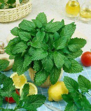 Seeds and Things 500 Seeds LEMON BALM- Melissa Officinalis-