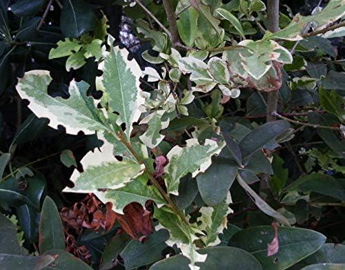 Nemasys Biological Vine Weevil Killer 12sqm