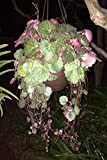 Green Variegated Strawberry Begonia/Saxifraga Stolonifera - One 2.5 Inch Pot