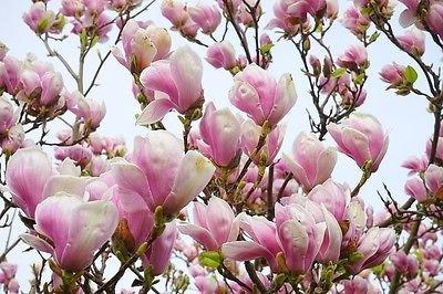 Amazoncom 5 Lily Magnolia Flower Tree Pink Purple Fragrant Tulip