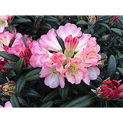 "Rhododendron Silver Skies - White Bloom with Bright Pink Edges- Grows Three Feet Tall - 12"" to 15"" Wide Plant – Typically Three Gallon : Garden & Outdoor"