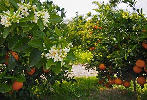 Orange Tree Orchard