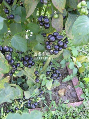 2018 Hot Sale Davitu Black Nightshade Garden Huckleberry Organic Fruit Seeds, 200 Seeds, Hound's Berry Small-Fruited Wonder Berry (Organic Seed Petunia)