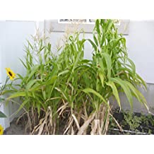 Available 100Pcs Popcorn Corn Seeds Edible Organic Plant Garden Health Vegetables High-Quality Delicious
