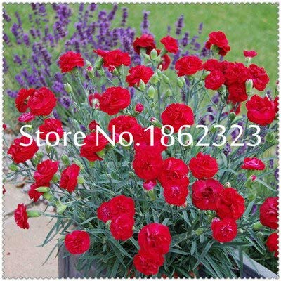 Kasuki 200 pca Rare Carnations Bonsai Flowers Bonsai Dianthus Caryophyllus Flowers Bonsai for Home Garden Planting Mom Gift - (Color: 17): Garden & Outdoor