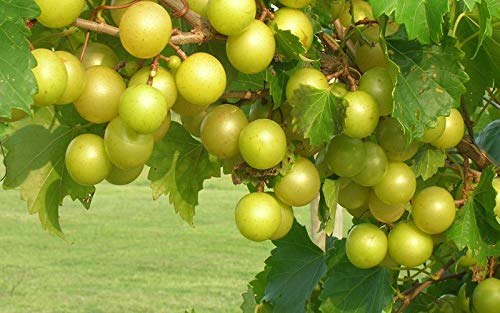 (2 Gallon Bare-Root Set of Two Plants) Tara Muscadine Grape Vine Produces Large, Bronze Colored Quality Fruit on Fast Growing Vines. by Pixies Gardens
