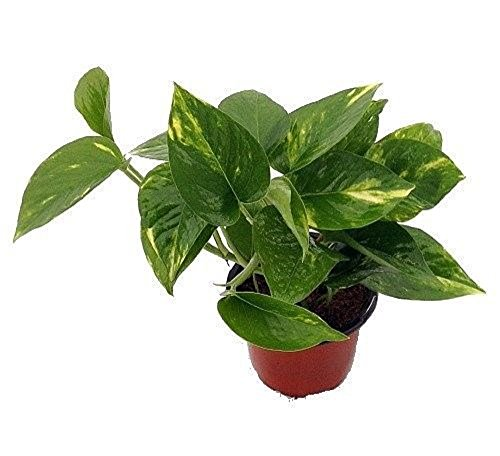 "Golden Devil's Ivy - Pothos - Epipremnum - 4"" Pot - Very Easy to Grow"