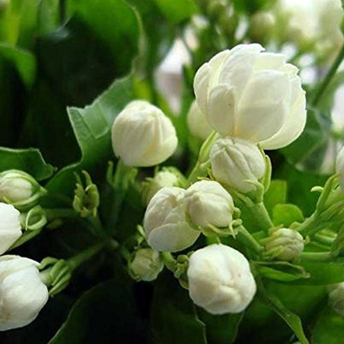 (Caiuet Seed,20pcs Jasmine Seeds Perennial Bonsai Flower Seeds Jasminum Sambac Seeds for Home Gardening Balcony Planting)