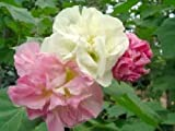 3 Color Change Confederate Rose - Hibiscus mutabilis - 30 seeds - cotton tree