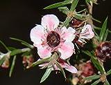 Leptospermum scoparium Ray Williams | 100_Seeds