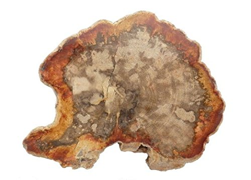 "4 to 6"" INCH PETRIFIED LOG SLICE 1/2'' THICK... POLISHED"
