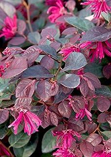Amazon sizzling pink loropetalum chinese fringe flower 25 qt purple diamond compact loropetalum compact evergreen shrub mightylinksfo