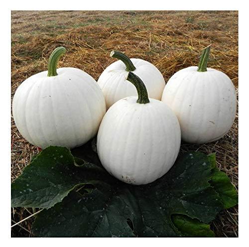 White Pumpkin Seeds - 15 White Moonshine Pumpkin Seeds - Non GMO - Marde Ross & Company
