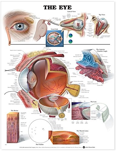 amazon com: the eye anatomical chart: anatomical chart company: office  products