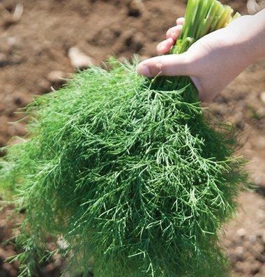 David's Garden Seeds Herb Dill Goldkrone D3876 (Green) 1000 Organic Seeds