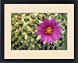 Framed Print of Flowering hatchet cactus, with flattened spine clusters. Pelecyphora