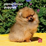 Pomeranian Puppies 2013 7X7 Mini Wall by Browntrout Publishers (2012-07-09)