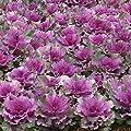 Park Seed Color Up Purple Hybrid Ornamental Cabbage Seeds