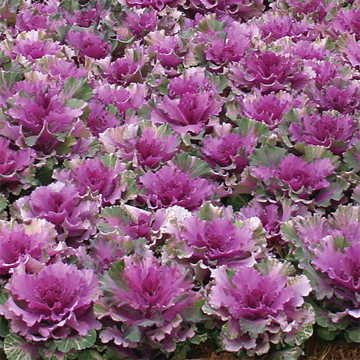 Park Seed Color Up Purple Hybrid Ornamental Cabbage Seeds