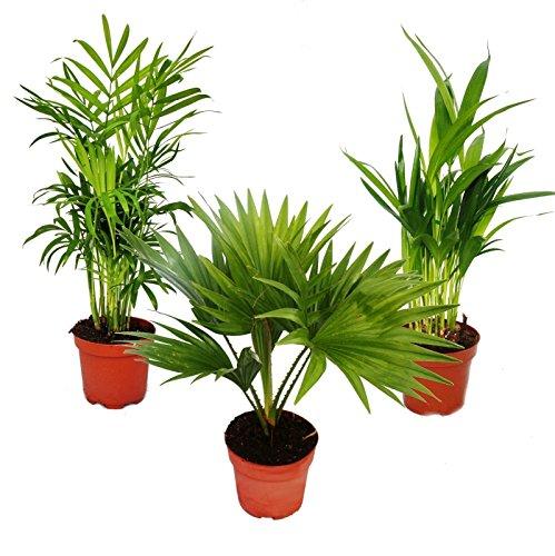 Zimmerpalmen - Set aus 3 verschiedenen Zimmerpalmen - Bergpalme (Chamaedorea) - Fächerpalme (Livistona) - Areca (Goldfruch-Palme)
