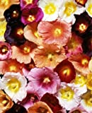 50+ Giant Danish Hollyhock Flower Seeds Mix 11 Ft. Tall