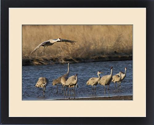 Framed Print of Sandhill cranes (Grus canadensis) flying at dusk, Platte river, Nebraska by Fine Art Storehouse
