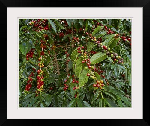 "greatBIGcanvas Kona Coffee Beans on The Tree, Hawaii by G. Brad Lewis Pictorial Print with Black Frame, 24"" x 19"""
