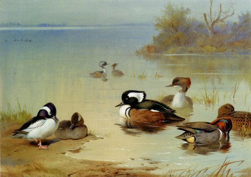 Artisoo Buffel Headed Duck American Green Winged Teal And Hooded Merganser - Oil painting reproduction 30'' x 21'' - Archibald Thorburn