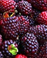 1 Brandywine - Purple Raspberry Plant - Everbearing - All Natural Grown - Ready for Fall Planting