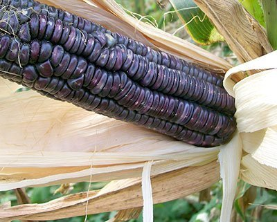 David's Garden Seeds Corn Dent McCormack's Blue Giant (Blue) 50 Open Pollinated Seeds (Organic Blue Corn Seeds compare prices)