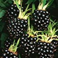 2 Apache Blackberry Plants - 2 year All Natural Grown - Ready for Fall Planting