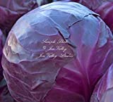 Red Acre Cabbage 100 Vegetable Seeds Tender Sweet Crisp 65 Days Deep Purple Split Resistant Natural NON GMO Non Treated Vivid Color!