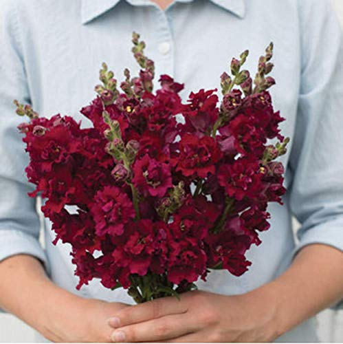 (David's Garden Seeds Flower Snapdragon Madame Butterfly Red (Edible) SL7480 (Red) 50 Non-GMO, Hybrid Seeds)
