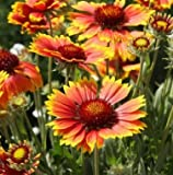 "GAILLARDIA GRANDIFLORA (GAILLARDIA ARISTATA) ""BLANKET FLOWER"" INTRICATELY COLORED FLOWERS ALTERNATING HUES OF SCARLET AND YELLOW DROUGHT RESISTANT APPROX 250 SEEDS"