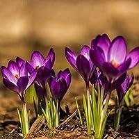 100Pcs Saffron Crocus Sativus Bulbs Seeds Plant Home Garden Bonsai Flower Decor