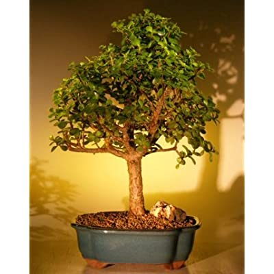 Bonsai Boy's Baby Jade Bonsai Tree - Extra Large Portulacaria Afra: Garden & Outdoor