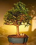 Bonsai Boy's Baby Jade Bonsai Tree - Extra Large Portulacaria Afra