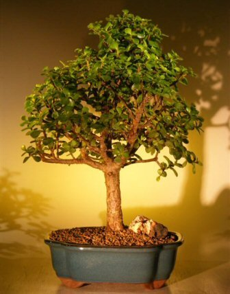 Bonsai Boy's Baby Jade Bonsai Tree - Extra Large Portulacaria Afra by Bonsai Boy
