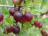 "Jahns Prairie Gooseberry Bush - Eat Fresh or Baked - 2.5"" Pot"