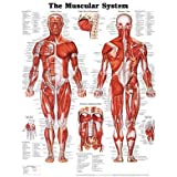 (20x26) The Muscular System Anatomical Chart Poster Print