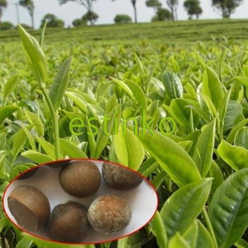 20pcs / lot chinesischer grüner Tee-Baum-Samen Bonsai Pflanze DIY Tee für gesunden Bonsai Teebaum-Hausgarten SVI
