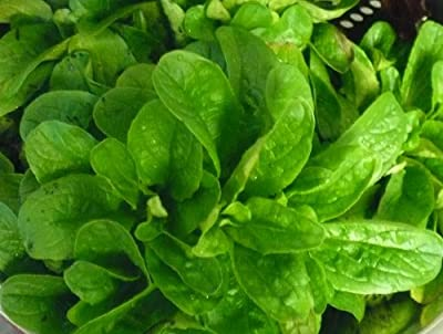 Corn Salad (Mache, Lamb's Lettuce) Seeds- Heirloom- 300+ Seeds