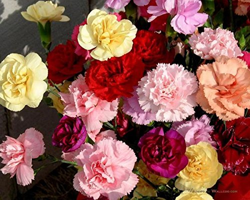 Trust Basket Open Pollinated Carnation Mixed Seeds