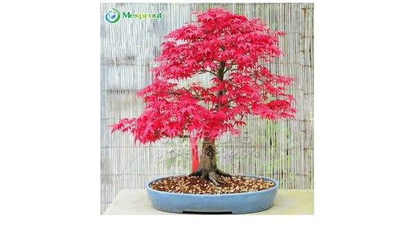 Bonsai Seeds Home Garden Cherry Bonsai Seeds Original Japanese Mini Pot Red Cherry Tree Seed 50 100 Pcs Topografiapv Cl