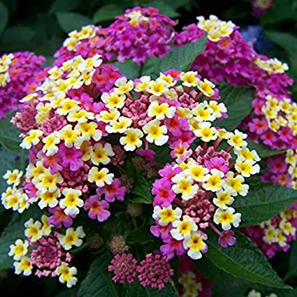 Amazon new arrival100 pcslot lantana camara flower seeds new arrival100 pcslot lantana camara flower seedsrare perennial mightylinksfo