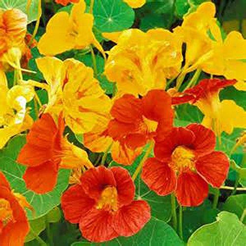 Nasturtium, Dwarf Jewel Mix Nasturtium Flower Seed, Organic, 25 seeds per package, A must have for any home - Nasturtium Jewel Dwarf