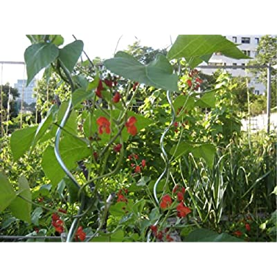 Scarlet Runner Bean (Phaseolus Coccineus L.) Flower Plant Seeds, Annual Climbing Heirloom : Garden & Outdoor