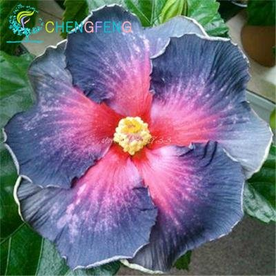 potted hibiscus - 6